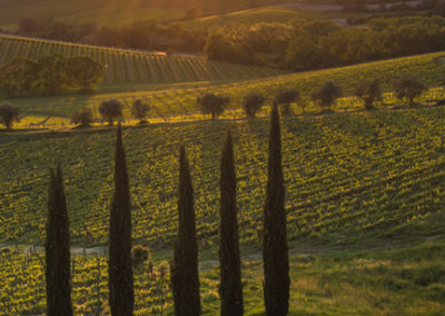 Cypress Trees Line the Tuscan Countryside